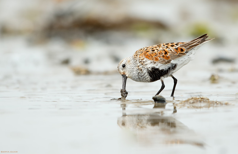 Dunlin digging for gold...or Horseshoe Crab eggs