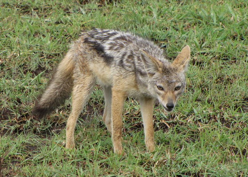 SILVER BACKED JACKAL - KENYA
