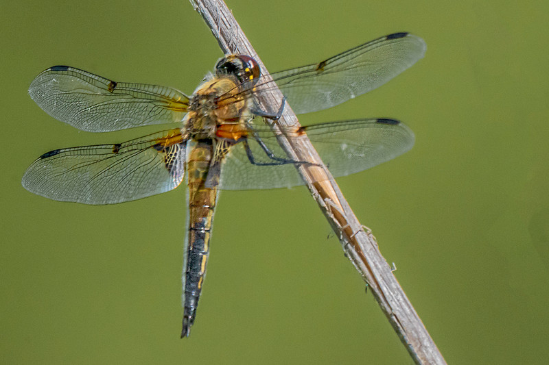 Four-spotted Chaser - Vierfleck