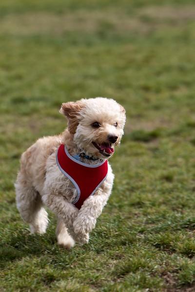 Landy at the dog park
