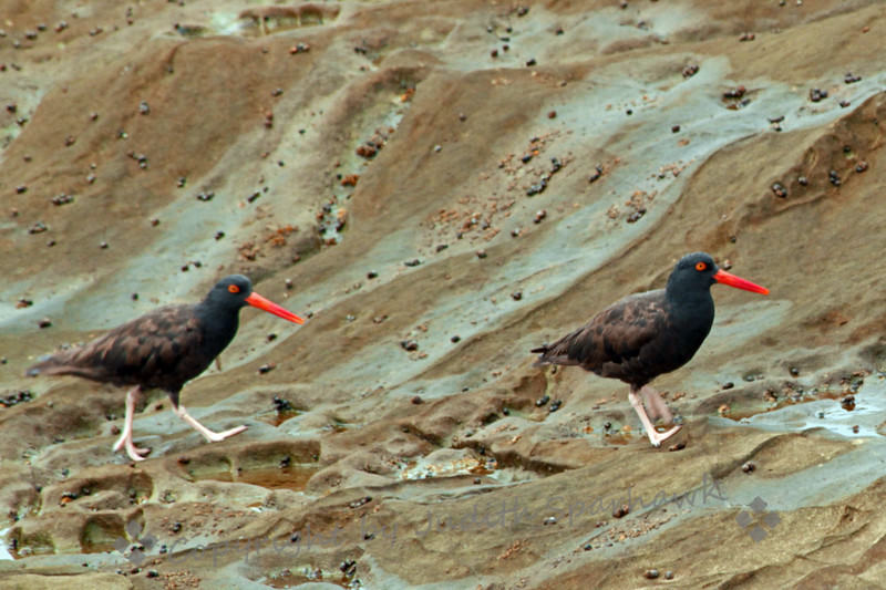 Black Oystercatchers ~ Photographed at Dana Point Harbor, Dana Point, California.
