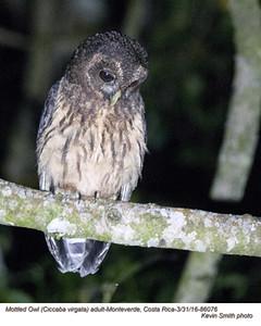 Mottled Owl A86076.jpg