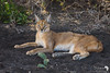 Relaxed Caracal