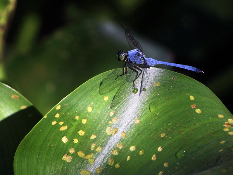9_5_19 Great Blue Skimmer Dragonfly.jpg