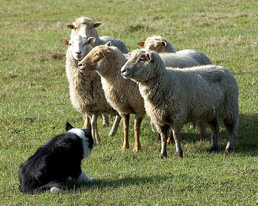 Florida Sheep Shifters - Border Collies