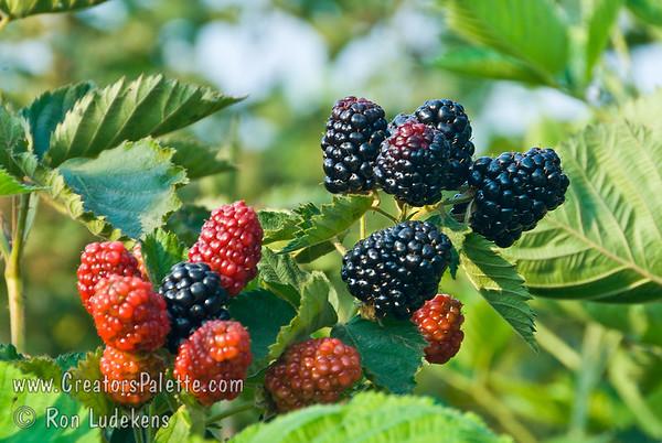 Chickasaw Blackberry - Rubus sp.