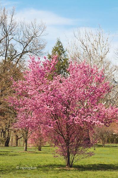 April 10_BranchBrookCherryBlossoms_7510.jpg