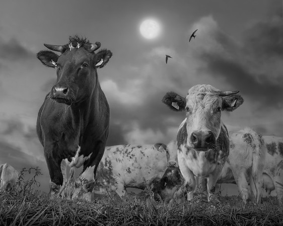 Peace of Cows