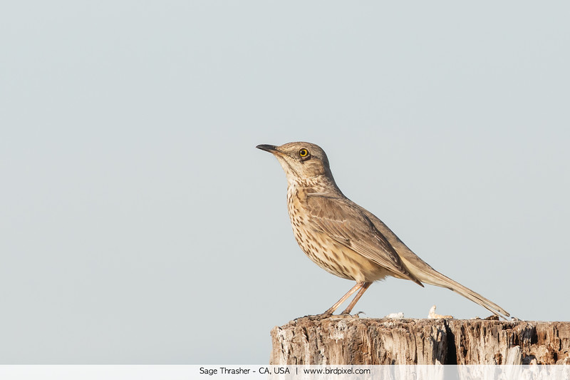 Sage Thrasher - CA, USA