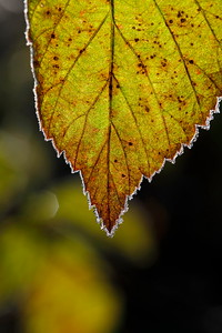 Frost rimmed leaf in fall