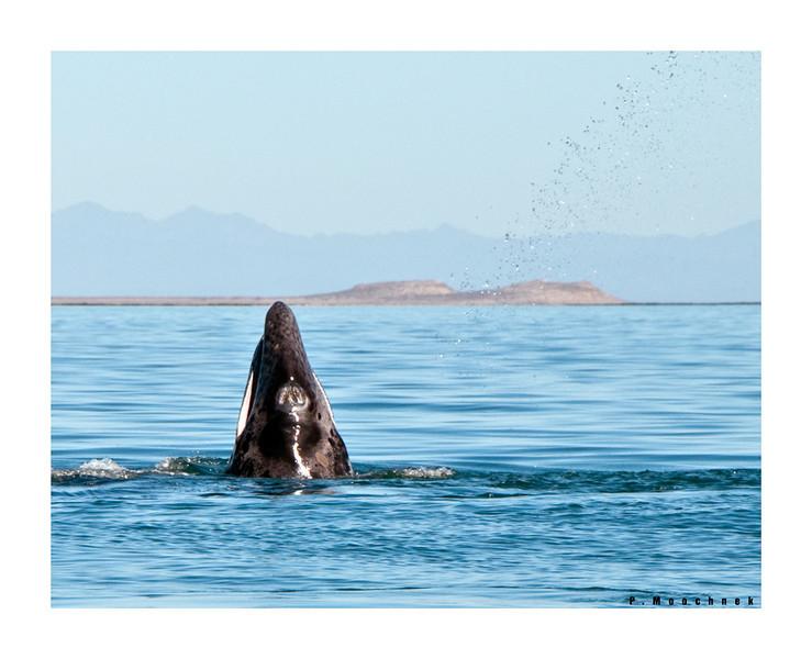 Grey Whale Spy Hopping
