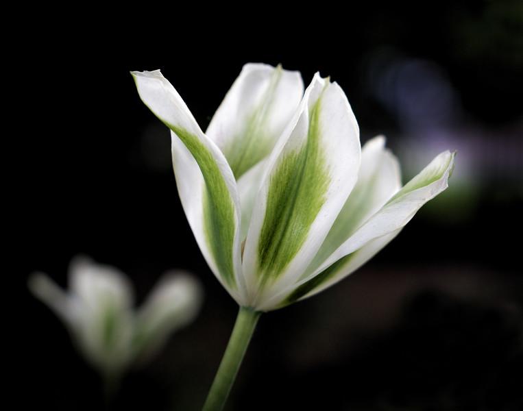 Tulip green wh contrast-6141.jpg