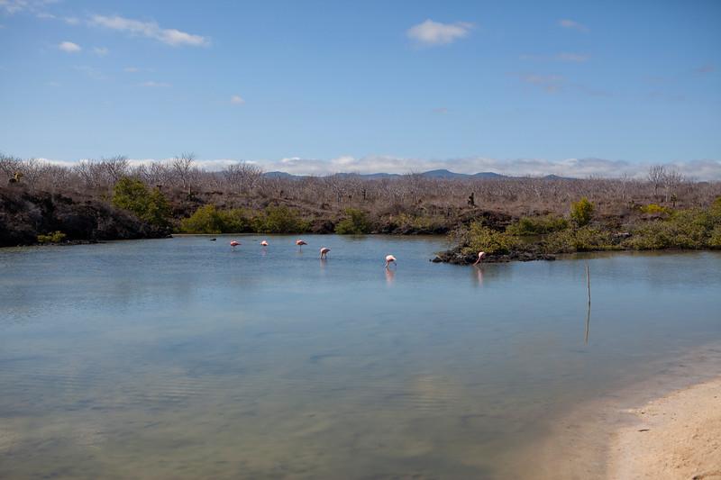 Flamingos @ Las Bachas, Santa Cruz.jpg