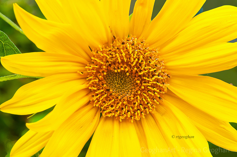 Day 293: Sunflower - Oct 19.  Rainy, foggy, windy today.  Probably not a day to get out and photograph so I'm posting one from earlier in the week.  This is a sunflower found in a local garden - a holdout from summer.  Yesterday when I walked past, sadly it was gone.