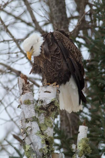 Bald Eagle CR47 Sax-Zim Bog MN IMG_2889.jpg