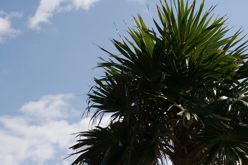 Palm Tree at the Mayan Ruins at Tulum