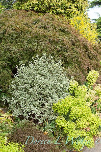 Pittosporum tenuifolium Marjorie Channon_028.jpg
