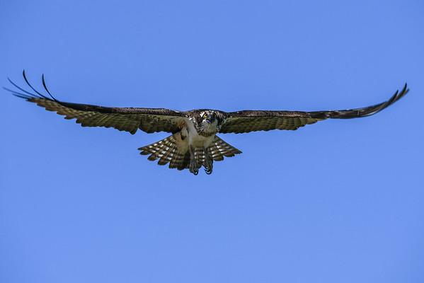 8-4-16 Osprey Nest #1