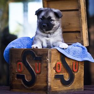 Pups in a Box (OSU)