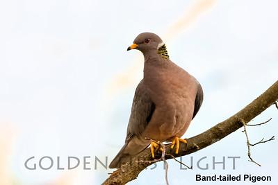 Band-tailed Pigeon, Lake Oswego OR, USA