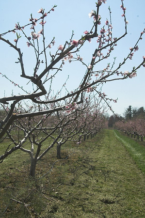 Peach Blossoms 2012