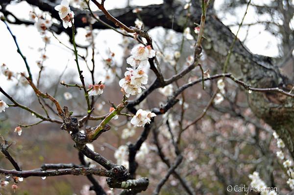 Sakura(Cherry Blossoms) 桜