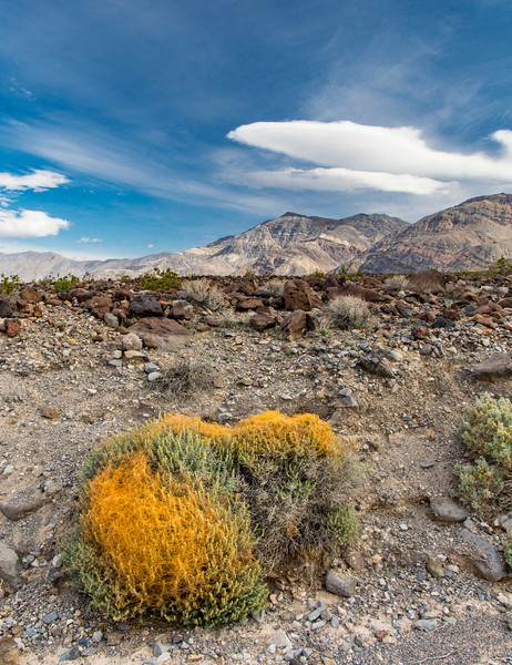West-exit-Death-Valley-dodder-parasitic-plant-April2017.jpg