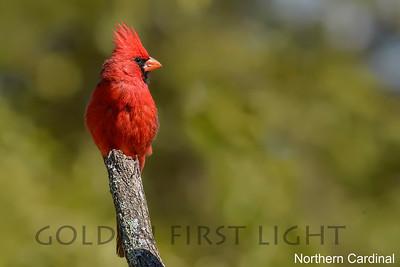 Northern Cardinal, Tony's B&B Hereford AZ, USA