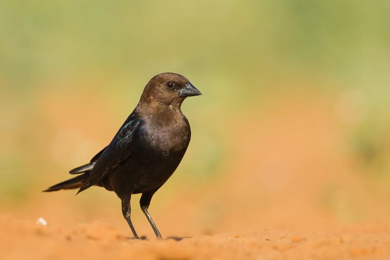 Brown-headed Cowbird - Laguna Seca Ranch, Edinburg, TX, USA