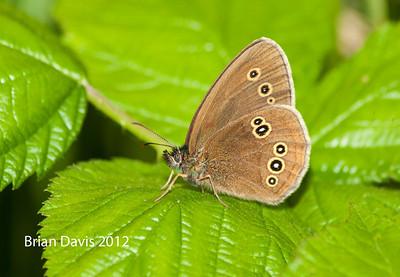 Butterflies 2 (R to Z)