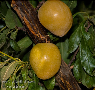 Golden Nectar Plum - Prunus salicina sp.