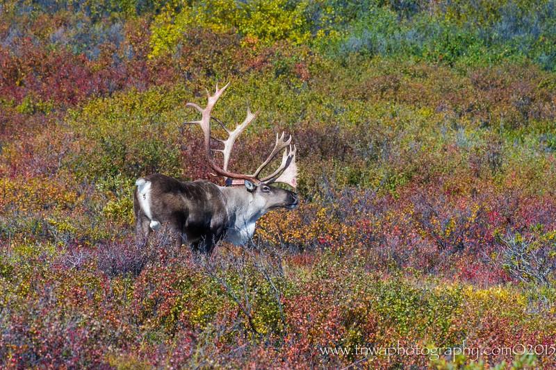 Caribou Splendor
