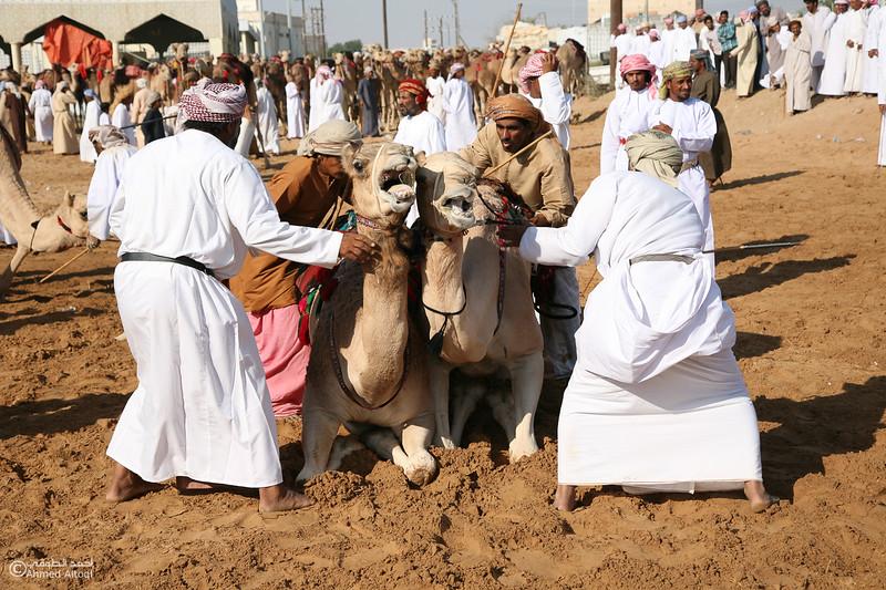 Camel Race  (21).jpg