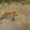 African Leopard (Panthera pardus pardus) stalking in the grasslands of Masai Mara in Kenya, Africa