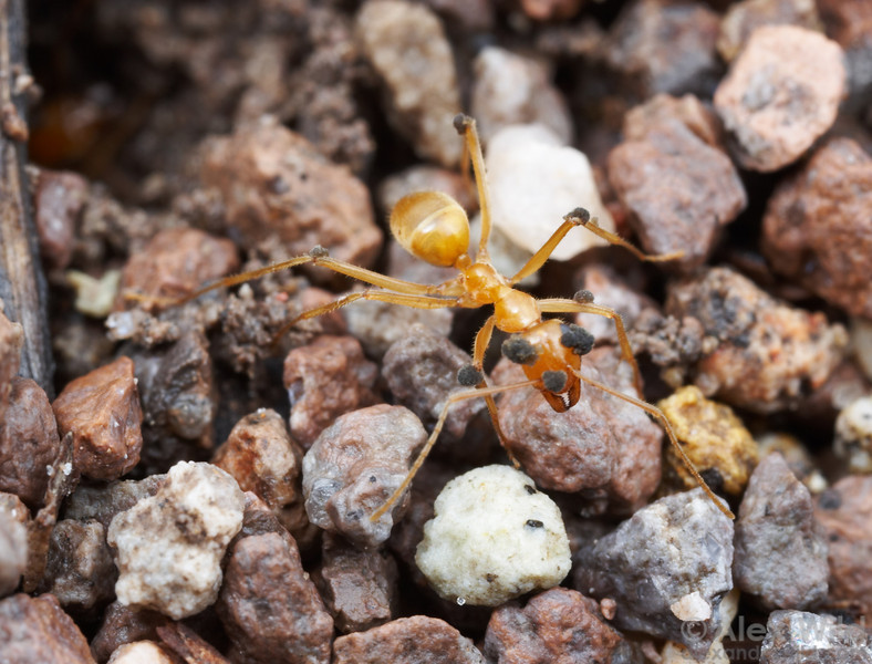 This worker honeypot ant (Myrmecocystus mexicanus) is being consumed from within by a fungus, visible here as growths extruding from the body and appendages. As soil-dwelling creatures, ants are in constant battle against microbes that thrive in the warm, humid conditions of their nests. 