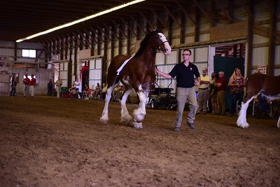 Clydesdale Jr Champion Reserve