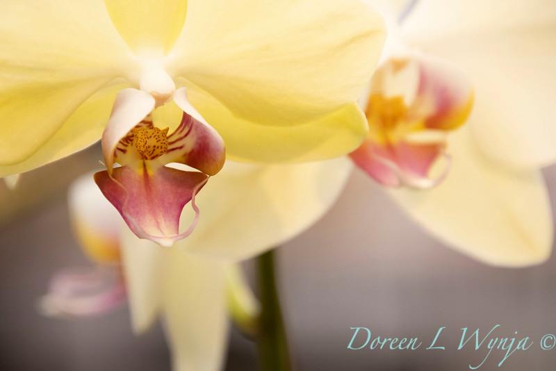 Phalaenopsis Blume yellow_5965.jpg