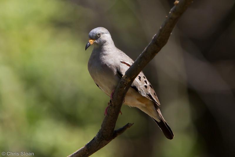 Croaking Ground-Dove at Chaparri Reserve, Lambayeque, Peru (06-27-2010) 677
