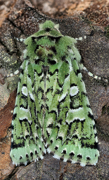 Comstock's Sallow Moth