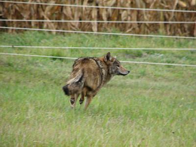 20071026 Coyote
