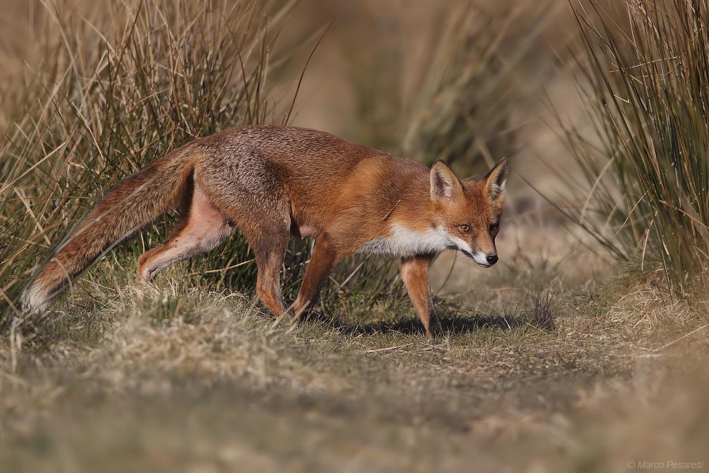 6. Red Fox