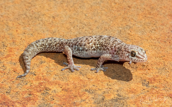 Cape Thick-toed Gecko (Pachydactylus capensis)