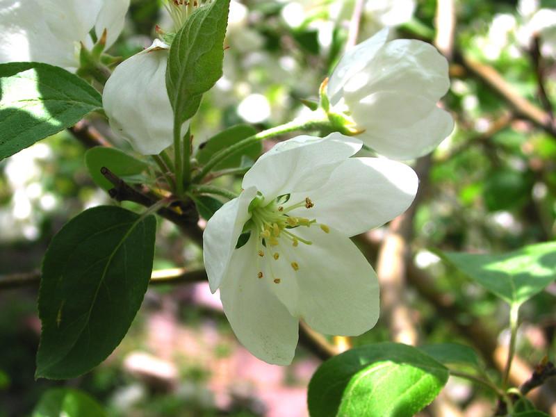 white bloom50.JPG