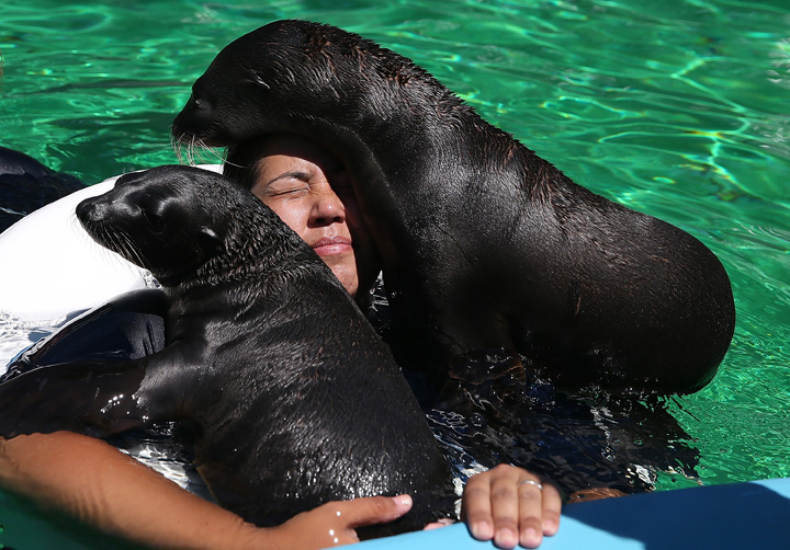 . Eight-week old sea lion pups Jax, left, and Cool Beans with marine mammal trainer Megan Korner  in a pool at Six Flags Discovery Kingdom  in Vallejo, California, July 26, 2013.  (Photo by Justin Sullivan/Getty Images)