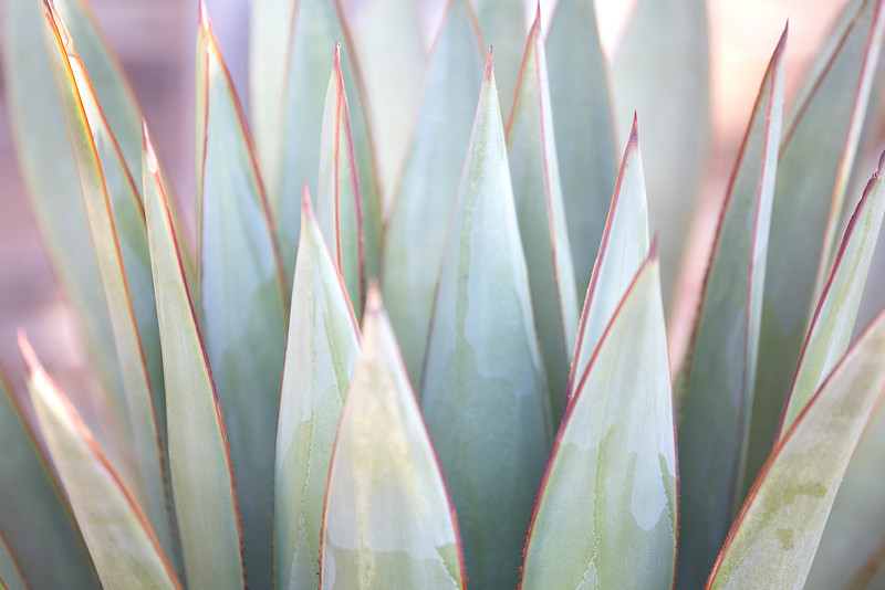 Morning Agave