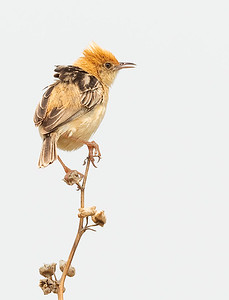 Dianne Willis - GOLDEN-HEADED CISTICOLA