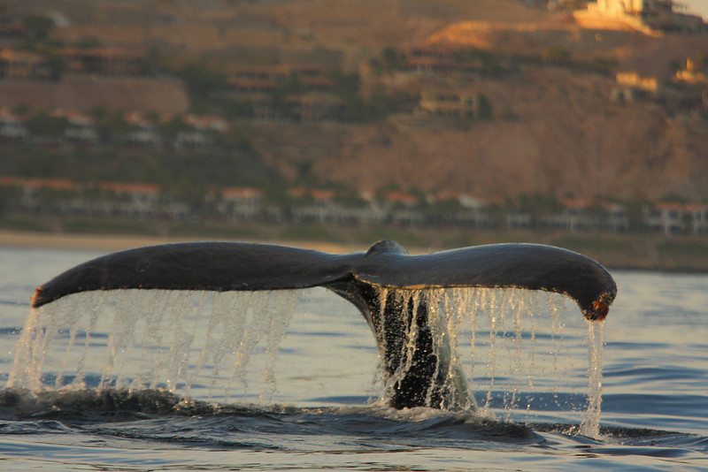 Mexico_Cabo_Whales 15.JPG