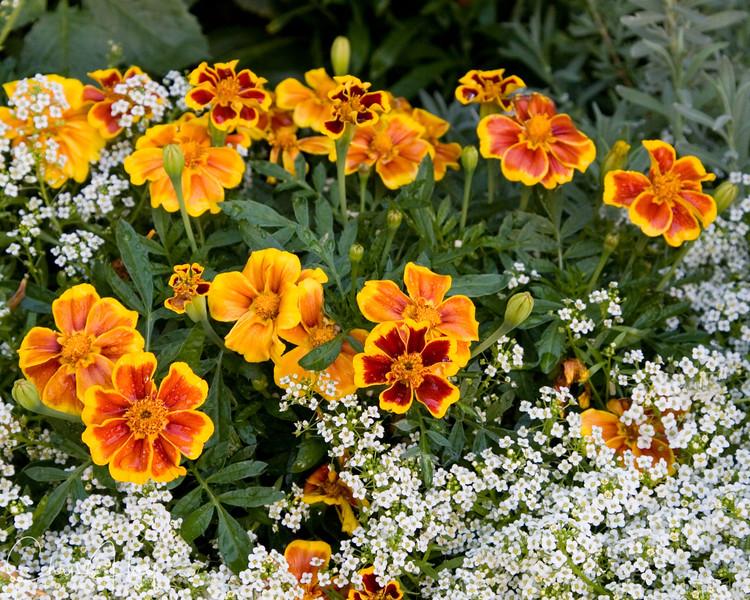 Marigolds and Alyssum.jpg