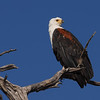 African Fish eagle, Haliaeetus vocifer. Kwai River, Botswana.