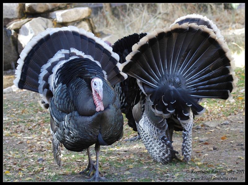 Wild Turkeys at the Santa Rita Lodge, Madera Canyon, Arizona, November 2011
